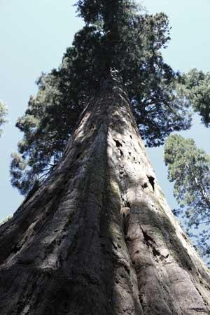 bullbucksequoia